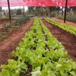 Plantando o bem -Comunidade Terapêutica colhe e doa os alimentos que os acolhidos produzem na Horta